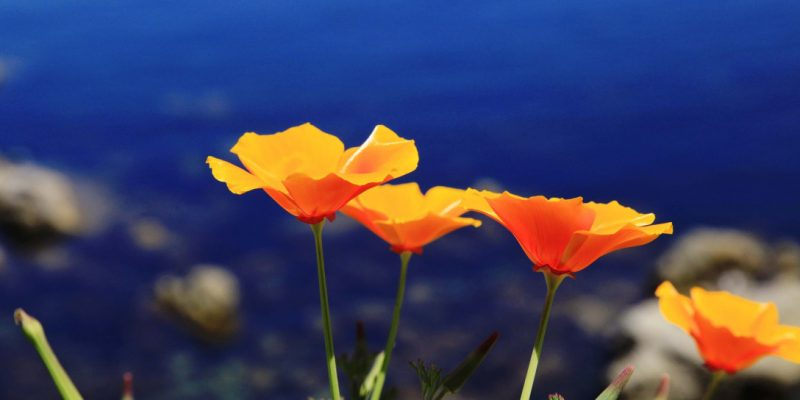 where I am from - poppies